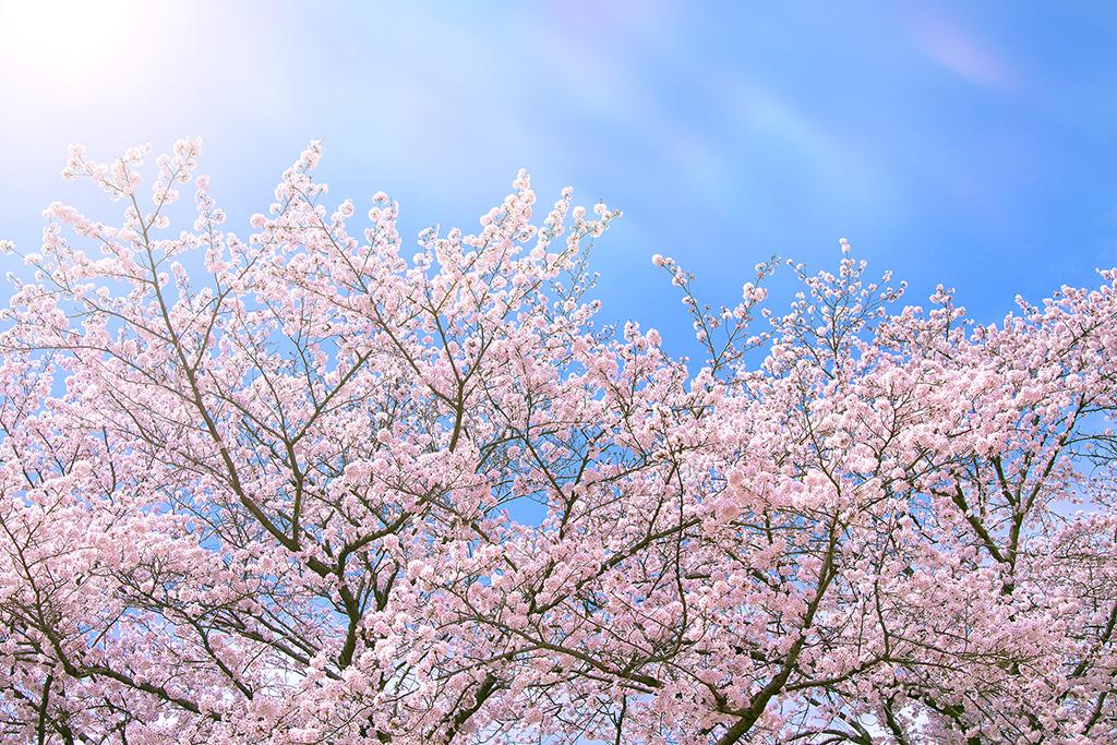 cherry-blossom_00014